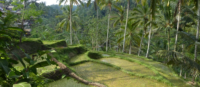 Rice Production Indonesia | Indonesia Investments