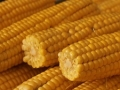 Corn Production & Consumption in Indonesia: Aiming for Self-Sufficiency