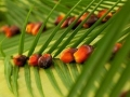 Palm Oil News Update: Indonesia's CPO Export Tax Remains at 0%