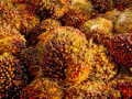 Indonesia's New Palm Oil Export Levy to be Implemented in May 2015