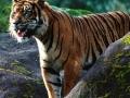 Flora & Fauna Indonesia: Sumatran Tiger Populations Threatened